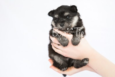 puppy14 BowTiePomsky.com Bowtie Pomsky Puppy For Sale Husky Pomeranian Mini Dog Spokane WA Breeder Blue Eyes Pomskies photo27