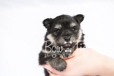 puppy14 BowTiePomsky.com Bowtie Pomsky Puppy For Sale Husky Pomeranian Mini Dog Spokane WA Breeder Blue Eyes Pomskies photo28