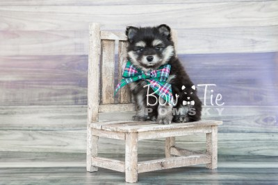 puppy14 BowTiePomsky.com Bowtie Pomsky Puppy For Sale Husky Pomeranian Mini Dog Spokane WA Breeder Blue Eyes Pomskies photo3