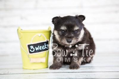 puppy14 BowTiePomsky.com Bowtie Pomsky Puppy For Sale Husky Pomeranian Mini Dog Spokane WA Breeder Blue Eyes Pomskies photo31