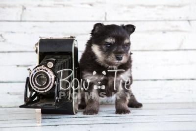 puppy14 BowTiePomsky.com Bowtie Pomsky Puppy For Sale Husky Pomeranian Mini Dog Spokane WA Breeder Blue Eyes Pomskies photo33