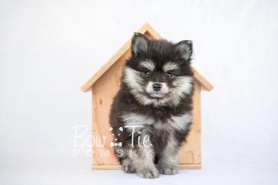 puppy14 BowTiePomsky.com Bowtie Pomsky Puppy For Sale Husky Pomeranian Mini Dog Spokane WA Breeder Blue Eyes Pomskies photo8