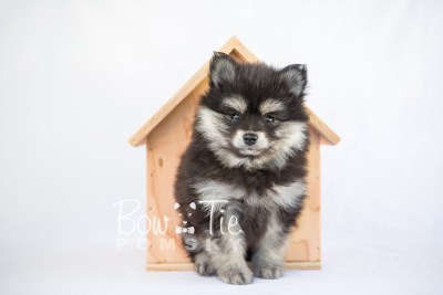 puppy14 BowTiePomsky.com Bowtie Pomsky Puppy For Sale Husky Pomeranian Mini Dog Spokane WA Breeder Blue Eyes Pomskies photo8