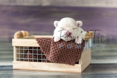 puppy15 BowTiePomsky.com Bowtie Pomsky Puppy For Sale Husky Pomeranian Mini Dog Spokane WA Breeder Blue Eyes Pomskies photo10