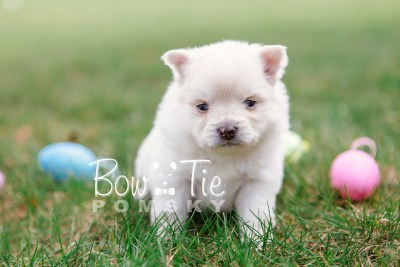 puppy15 BowTiePomsky.com Bowtie Pomsky Puppy For Sale Husky Pomeranian Mini Dog Spokane WA Breeder Blue Eyes Pomskies photo14