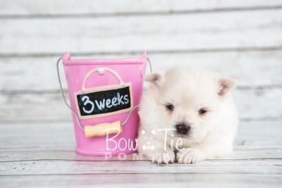 puppy15 BowTiePomsky.com Bowtie Pomsky Puppy For Sale Husky Pomeranian Mini Dog Spokane WA Breeder Blue Eyes Pomskies photo15