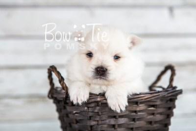 puppy15 BowTiePomsky.com Bowtie Pomsky Puppy For Sale Husky Pomeranian Mini Dog Spokane WA Breeder Blue Eyes Pomskies photo16