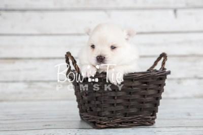 puppy15 BowTiePomsky.com Bowtie Pomsky Puppy For Sale Husky Pomeranian Mini Dog Spokane WA Breeder Blue Eyes Pomskies photo17
