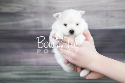 puppy15 BowTiePomsky.com Bowtie Pomsky Puppy For Sale Husky Pomeranian Mini Dog Spokane WA Breeder Blue Eyes Pomskies photo18