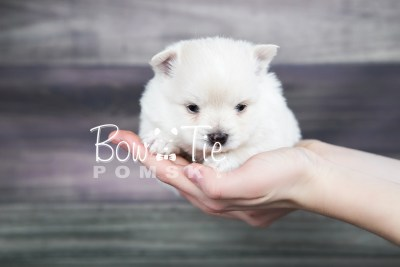 puppy15 BowTiePomsky.com Bowtie Pomsky Puppy For Sale Husky Pomeranian Mini Dog Spokane WA Breeder Blue Eyes Pomskies photo19