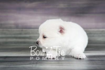 puppy15 BowTiePomsky.com Bowtie Pomsky Puppy For Sale Husky Pomeranian Mini Dog Spokane WA Breeder Blue Eyes Pomskies photo20
