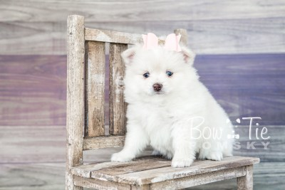 puppy15 BowTiePomsky.com Bowtie Pomsky Puppy For Sale Husky Pomeranian Mini Dog Spokane WA Breeder Blue Eyes Pomskies photo25