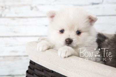puppy15 BowTiePomsky.com Bowtie Pomsky Puppy For Sale Husky Pomeranian Mini Dog Spokane WA Breeder Blue Eyes Pomskies photo27