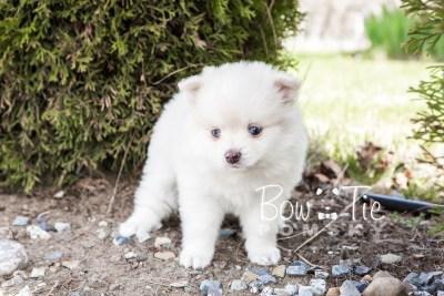 puppy15 BowTiePomsky.com Bowtie Pomsky Puppy For Sale Husky Pomeranian Mini Dog Spokane WA Breeder Blue Eyes Pomskies photo28