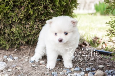 puppy15 BowTiePomsky.com Bowtie Pomsky Puppy For Sale Husky Pomeranian Mini Dog Spokane WA Breeder Blue Eyes Pomskies photo28