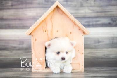 puppy15 BowTiePomsky.com Bowtie Pomsky Puppy For Sale Husky Pomeranian Mini Dog Spokane WA Breeder Blue Eyes Pomskies photo31