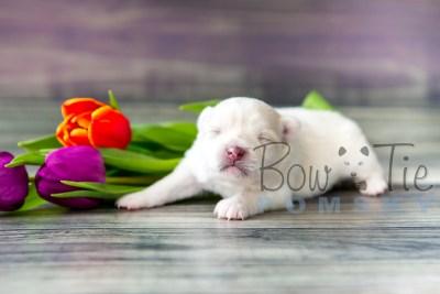 puppy15 BowTiePomsky.com Bowtie Pomsky Puppy For Sale Husky Pomeranian Mini Dog Spokane WA Breeder Blue Eyes Pomskies photo6