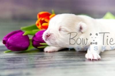 puppy15 BowTiePomsky.com Bowtie Pomsky Puppy For Sale Husky Pomeranian Mini Dog Spokane WA Breeder Blue Eyes Pomskies photo7