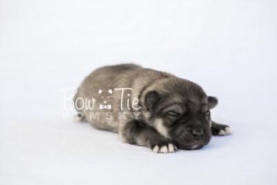 puppy16 BowTiePomsky.com Bowtie Pomsky Puppy For Sale Husky Pomeranian Mini Dog Spokane WA Breeder Blue Eyes Pomskies photo1