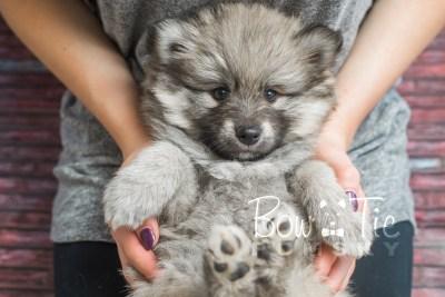 puppy16 BowTiePomsky.com Bowtie Pomsky Puppy For Sale Husky Pomeranian Mini Dog Spokane WA Breeder Blue Eyes Pomskies photo17