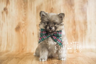 puppy16 BowTiePomsky.com Bowtie Pomsky Puppy For Sale Husky Pomeranian Mini Dog Spokane WA Breeder Blue Eyes Pomskies photo20
