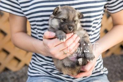 puppy16 BowTiePomsky.com Bowtie Pomsky Puppy For Sale Husky Pomeranian Mini Dog Spokane WA Breeder Blue Eyes Pomskies photo9