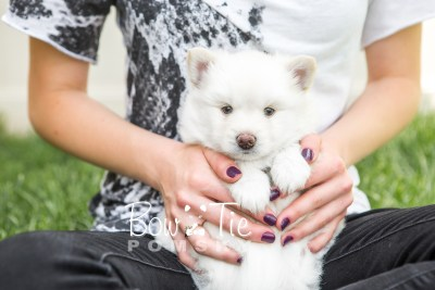 puppy17 BowTiePomsky.com Bowtie Pomsky Puppy For Sale Husky Pomeranian Mini Dog Spokane WA Breeder Blue Eyes Pomskies photo12
