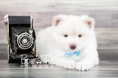 puppy17 BowTiePomsky.com Bowtie Pomsky Puppy For Sale Husky Pomeranian Mini Dog Spokane WA Breeder Blue Eyes Pomskies photo16