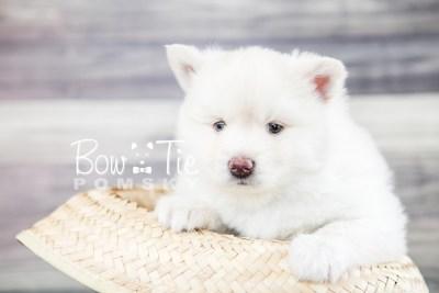 puppy17 BowTiePomsky.com Bowtie Pomsky Puppy For Sale Husky Pomeranian Mini Dog Spokane WA Breeder Blue Eyes Pomskies photo17