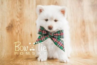 puppy17 BowTiePomsky.com Bowtie Pomsky Puppy For Sale Husky Pomeranian Mini Dog Spokane WA Breeder Blue Eyes Pomskies photo21