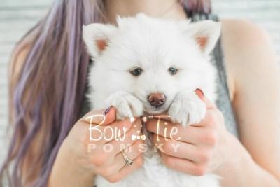 puppy17 BowTiePomsky.com Bowtie Pomsky Puppy For Sale Husky Pomeranian Mini Dog Spokane WA Breeder Blue Eyes Pomskies photo23