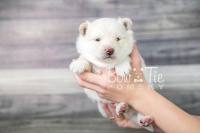 puppy17 BowTiePomsky.com Bowtie Pomsky Puppy For Sale Husky Pomeranian Mini Dog Spokane WA Breeder Blue Eyes Pomskies photo7