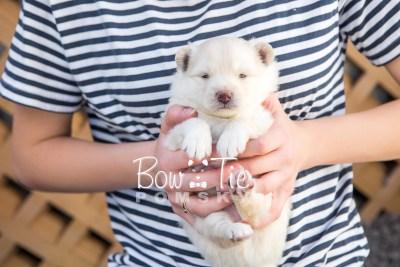 puppy17 BowTiePomsky.com Bowtie Pomsky Puppy For Sale Husky Pomeranian Mini Dog Spokane WA Breeder Blue Eyes Pomskies photo8
