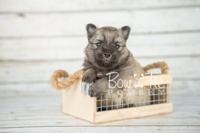 puppy18 BowTiePomsky.com Bowtie Pomsky Puppy For Sale Husky Pomeranian Mini Dog Spokane WA Breeder Blue Eyes Pomskies photo11