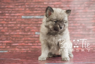 puppy18 BowTiePomsky.com Bowtie Pomsky Puppy For Sale Husky Pomeranian Mini Dog Spokane WA Breeder Blue Eyes Pomskies photo18