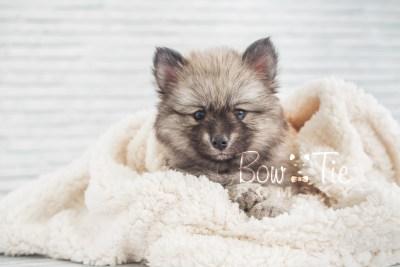 puppy18 BowTiePomsky.com Bowtie Pomsky Puppy For Sale Husky Pomeranian Mini Dog Spokane WA Breeder Blue Eyes Pomskies photo20