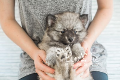 puppy18 BowTiePomsky.com Bowtie Pomsky Puppy For Sale Husky Pomeranian Mini Dog Spokane WA Breeder Blue Eyes Pomskies photo21
