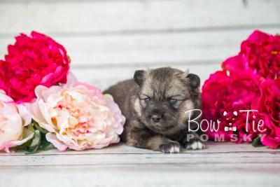 puppy19 BowTiePomsky.com Bowtie Pomsky Puppy For Sale Husky Pomeranian Mini Dog Spokane WA Breeder Blue Eyes Pomskies photo10