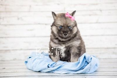 puppy19 BowTiePomsky.com Bowtie Pomsky Puppy For Sale Husky Pomeranian Mini Dog Spokane WA Breeder Blue Eyes Pomskies photo14