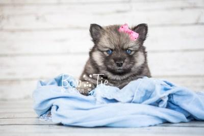 puppy19 BowTiePomsky.com Bowtie Pomsky Puppy For Sale Husky Pomeranian Mini Dog Spokane WA Breeder Blue Eyes Pomskies photo15