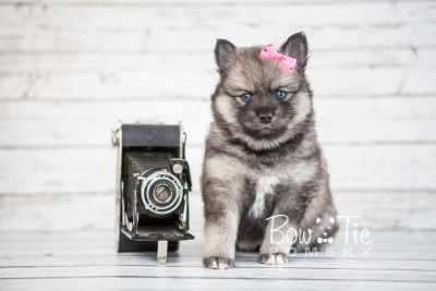 puppy19 BowTiePomsky.com Bowtie Pomsky Puppy For Sale Husky Pomeranian Mini Dog Spokane WA Breeder Blue Eyes Pomskies photo16