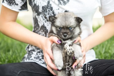 puppy19 BowTiePomsky.com Bowtie Pomsky Puppy For Sale Husky Pomeranian Mini Dog Spokane WA Breeder Blue Eyes Pomskies photo17
