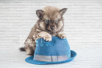 puppy19 BowTiePomsky.com Bowtie Pomsky Puppy For Sale Husky Pomeranian Mini Dog Spokane WA Breeder Blue Eyes Pomskies photo19