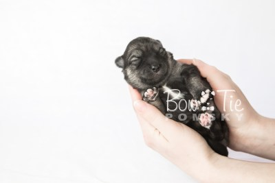 puppy19 BowTiePomsky.com Bowtie Pomsky Puppy For Sale Husky Pomeranian Mini Dog Spokane WA Breeder Blue Eyes Pomskies photo3