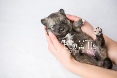 puppy19 BowTiePomsky.com Bowtie Pomsky Puppy For Sale Husky Pomeranian Mini Dog Spokane WA Breeder Blue Eyes Pomskies photo8