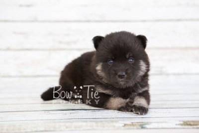 puppy20 BowTiePomsky.com Bowtie Pomsky Puppy For Sale Husky Pomeranian Mini Dog Spokane WA Breeder Blue Eyes Pomskies photo-7578