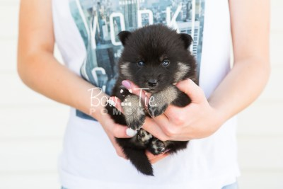 puppy20 BowTiePomsky.com Bowtie Pomsky Puppy For Sale Husky Pomeranian Mini Dog Spokane WA Breeder Blue Eyes Pomskies photo-7602