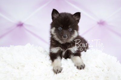 puppy20 week5 BowTiePomsky.com Bowtie Pomsky Puppy For Sale Husky Pomeranian Mini Dog Spokane WA Breeder Blue Eyes Pomskies photo-9175