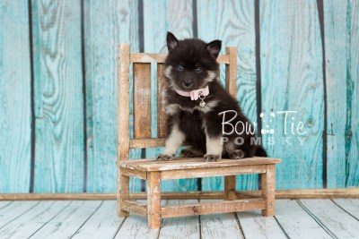 puppy20 week5 BowTiePomsky.com Bowtie Pomsky Puppy For Sale Husky Pomeranian Mini Dog Spokane WA Breeder Blue Eyes Pomskies photo-9253
