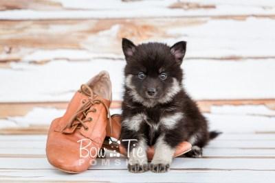 puppy20 week5 BowTiePomsky.com Bowtie Pomsky Puppy For Sale Husky Pomeranian Mini Dog Spokane WA Breeder Blue Eyes Pomskies photo-9378